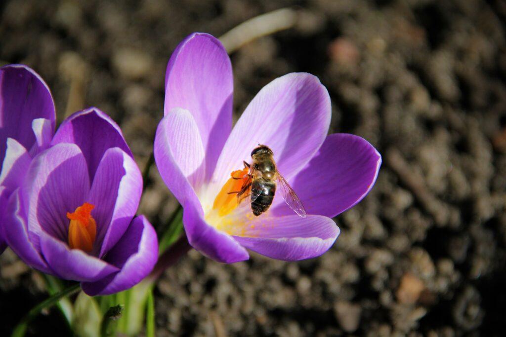 forårsblomst og bi